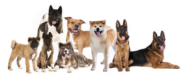 Many dogs sitting on white background Royalty Free Stock Photos