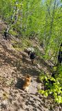 Dogs. Many dogs walking in the forest Royalty Free Stock Photos