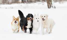 Many dogs on winter walk Stock Photos