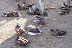 Many domestic ducks on poultry yard Stock Image