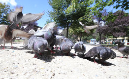 Many doves and pigeons eat the bread crumbs in the public park Royalty Free Stock Image
