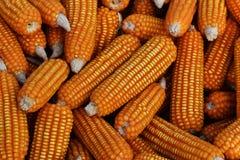 Many dry corn Royalty Free Stock Photos