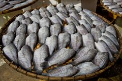 Many dry Gourami fishs on bamboo plates Stock Photos