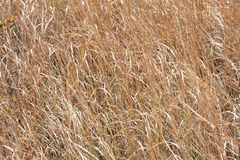 Many dry grass Royalty Free Stock Images