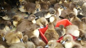 Many duck chicks in cage. From above fluffy duck chicks for sale being kept in overcrowded cage on Chatuchak Market in