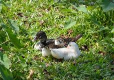 Many duck in garden. Three ducks lay down in garden Royalty Free Stock Image