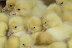Many  ducklings Royalty Free Stock Photography