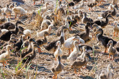 Many ducklings at duck farm Stock Photography