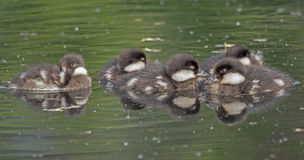 Many ducklings sleeping on the lake Stock Images
