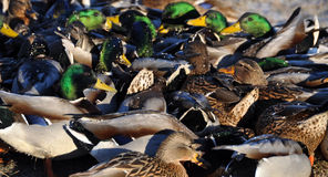 Many ducks Royalty Free Stock Photo