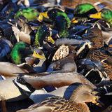 Many ducks Stock Photos