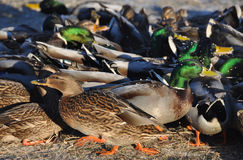 Many ducks. Background of many ducks in Latvia Royalty Free Stock Images