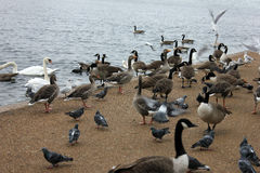 Many ducks, birds and gooses at london park Stock Photo