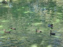 Many ducks in a lake swimming. Birds in a pond swimming in algae Royalty Free Stock Photo