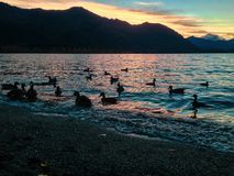 Many ducks on Lake Wakatipu in Queenstown, New Zealand royalty free stock photo