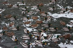 Many ducks In lake. Winter lake, snow. Lunch time. Cold weather stock photos