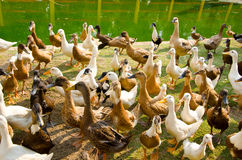 Many ducks near streams. Many ducks near of streams Stock Photos