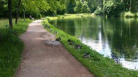 Many Ducks Royalty Free Stock Image