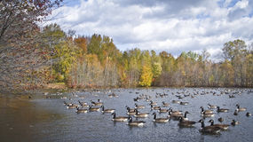 Many Ducks Panorama Royalty Free Stock Photography
