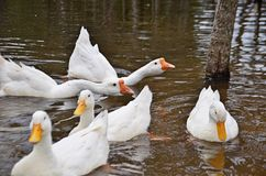Ducks in a pond Royalty Free Stock Images