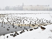 Many ducks on the pond in winter Royalty Free Stock Photos