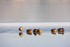 Many ducks rest on the ice Stock Image