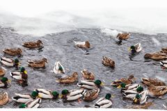 Many ducks swimming in ice hole of frozen lake. In urban Timiryazevskiy park in Moscow city in winter snowfall stock photo