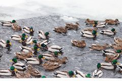 Many ducks swimming in ice hole of frozen pond. In urban Timiryazevskiy park in Moscow city in winter snowfall royalty free stock photo