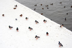 Many ducks on white snow background by water Stock Image