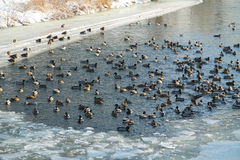 Many ducks in winter Stock Photography