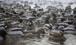 Many ducks in winter pond. Lot of mallard ducks in winter pond Stock Photos