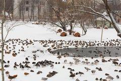 Many ducks at the zoo Stock Photography
