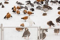 Many ducks at the zoo Stock Image