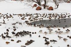 Many ducks at the zoo Royalty Free Stock Photo