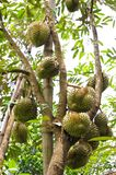 Many Durians on the tree Royalty Free Stock Images