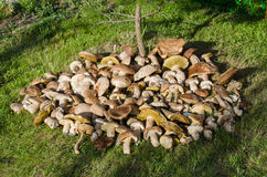 Many edible mushrooms in the grass Stock Photo