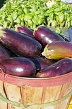 Many eggplants Stock Photo