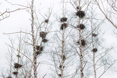 Many empty bird`s nests in branches of birch tree in March stock photos