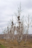 Many empty bird`s nests in branches of birch tree in March stock photography
