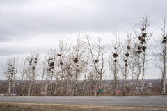 Many empty bird`s nests in branches of birch tree in March royalty free stock photos