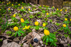 Many eranthis flowers in a forest Royalty Free Stock Photos