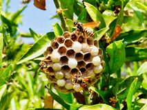 European Wasps Feeding Larvae in Multi Cell Nest. Many European wasps tending multi hexagonal cell nest, fabricated from masticated wood fibre, and feeding royalty free stock image