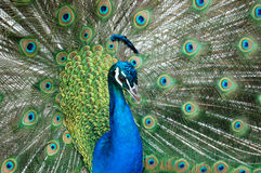 Many Eyes. The male peacock in all his glory royalty free stock photo