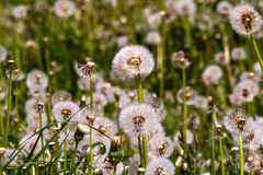 Many faded dandelions. Royalty Free Stock Images