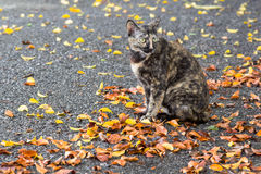 Many fall leaves and cat. Royalty Free Stock Photo