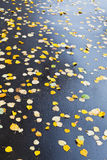 Many falled leaves on wet asphalt road. In autumn day Royalty Free Stock Photo