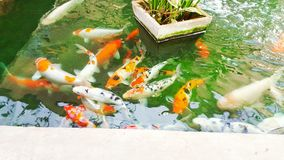 Many of Fancy carp fish in pond. Stock Photo