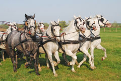 The many farm animals horses riding. The many farm animals horses chasing the fast six white and one half-black, riding royalty free stock photo