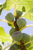 Many figs on the tree Stock Images