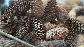 Many fir cones, close-up. Group of conifer cones stock video footage